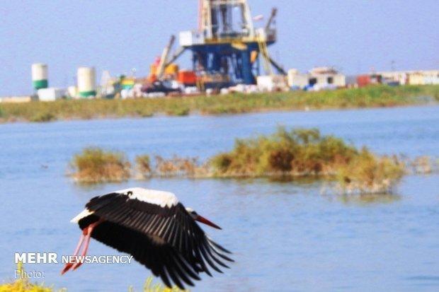 مهاجرت پرندگان زمستان گذر به هور العظیم افزایش می یابد