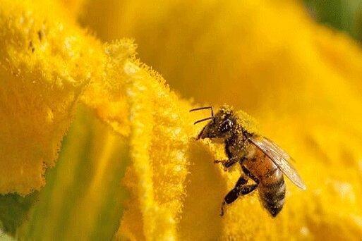 علت تلف شدن 500 میلیون زنبور در برزیل