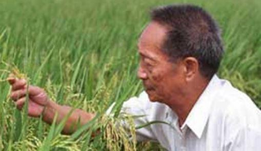 چین برنج قابل کشت در زمین های شور فراوری کرد