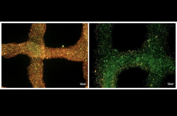 اکسیژن رسانی به بافت های پرینتی انسان امکانپذیر شد
